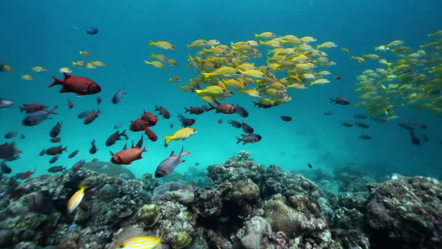 MS TS Shot of School of yellow snappers and soldier fish swimming over reef / Sipadan, Semporna, Tawau, Malaysia