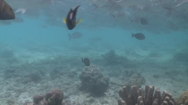 ms shot of schooling big eye jack fish and giant trevally / sipadan, sabah, malaysia  - jack fish stock videos and b-roll footage