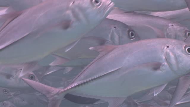 ms shot of schooling big eye jack fish / sipadan, sabah, malaysia  - jack fish stock videos and b-roll footage