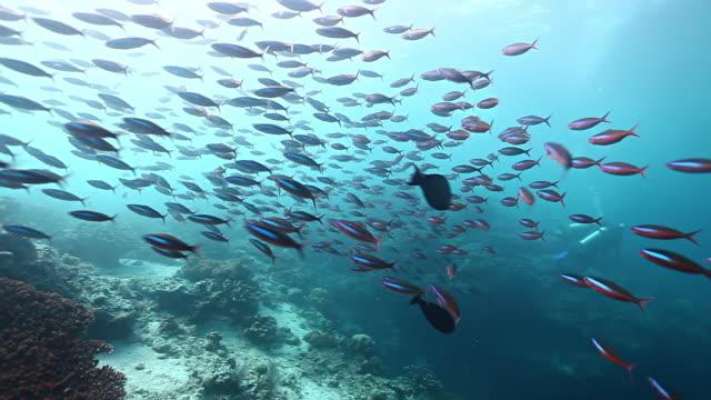 MS PAN Shot of Schooling fusiliers fish swimming action with divers / Sipadan, Semporna, Tawau, Malaysia
