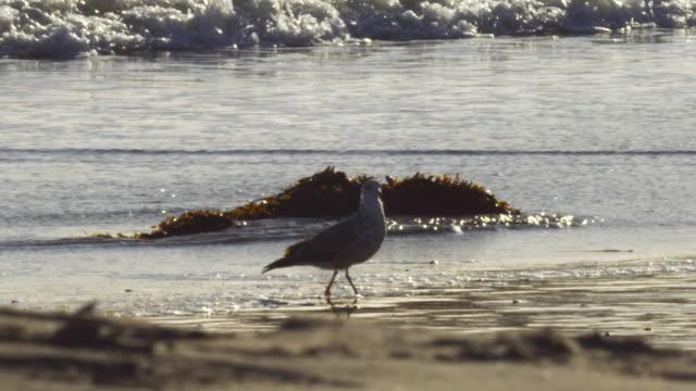 ms pan slo mo shot of sea bird walking on the beach / santa cruz, california, united states - カリフォルニア州サンタクルーズ点の映像素材/bロール
