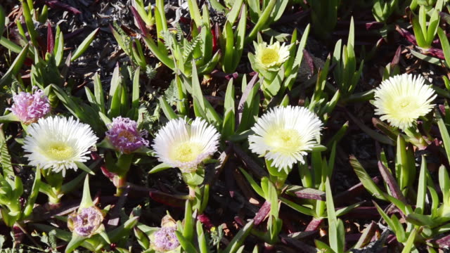 vídeos de stock e filmes b-roll de ms shot of sea fig ice plants flowers ( carpobrotus edulis ) unesco world heritage / gulf of porto, corsica, france - estame