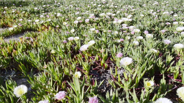 ms shot of sea fig ice plants flowers ( carpobrotus edulis ) unesco world heritage / gulf of porto, corsica, france - aptenia stock-videos und b-roll-filmmaterial