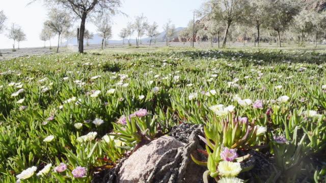 ws shot of sea fig ice plants flowers ( carpobrotus edulis ) unesco world heritage / gulf of porto, corsica, france - aptenia stock-videos und b-roll-filmmaterial