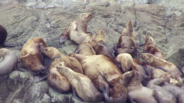 CU AERIAL Shot of sea lions on rocky shore of Benjamin Island / Alaska, United States