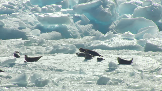 MS AERIAL PAN Shot of sea lions resting on iceberg at Tracy Arm / Alaska, United States