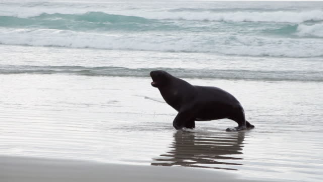 ms ts shot of sea lions with shore / catlins, new zealand - seals stock videos and b-roll footage