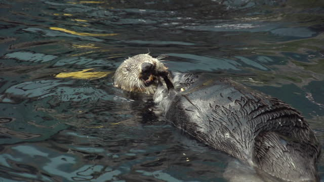 MS SLO MO Shot of Sea otter, enhydra lutris, adult in relaxing and eating / North America, California, United States