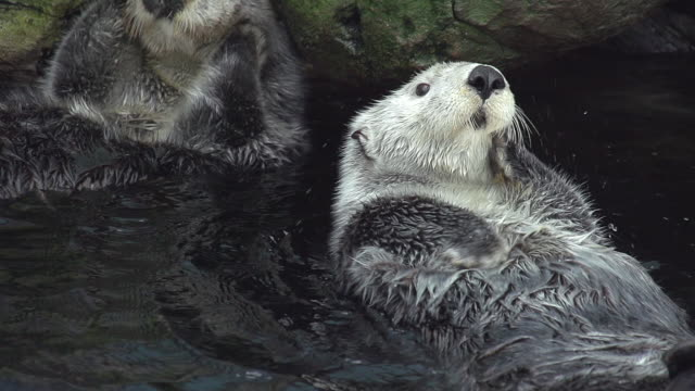 ms slo mo shot of sea otter, enhydra lutris, adult shaking and washing itself / north america, california, united states - otter stock videos & royalty-free footage