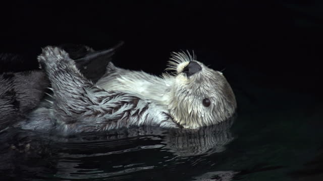 ms slo mo shot of sea otter, enhydra lutris, adult standing on its back, washing itself / north america, california, united states - otter stock videos & royalty-free footage