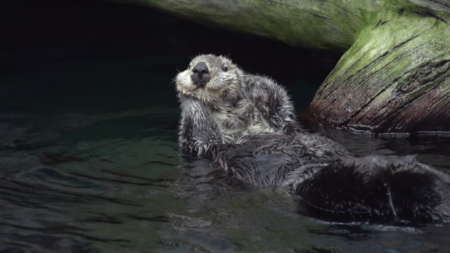 ms slo mo shot of sea otter, enhydra lutris, adult washing itself and relxing / north america, california, united states - otter stock videos & royalty-free footage