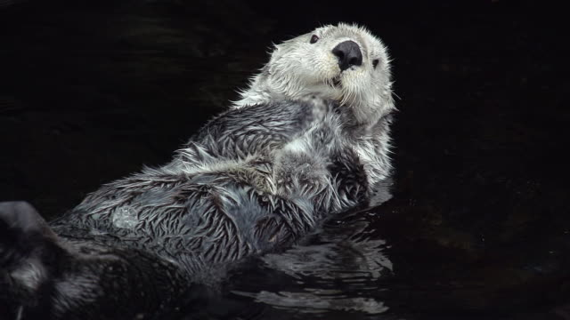 ms slo mo shot of sea otter, enhydra lutris, adult washing itself / north america, california, united states - otter stock videos & royalty-free footage