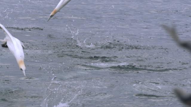ms slo mo shot of seabirds northern gannet morus bassanus diving and surfacing with fish / ailsa craig island near girvan, ayrshire, scotland - northern gannet stock videos & royalty-free footage