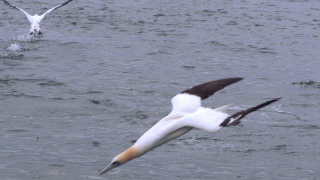 ms slo mo pan shot of seabirds northern gannet morus bassanus diving and surfacing with fish / ailsa craig island near girvan, ayrshire, scotland - northern gannet stock videos & royalty-free footage