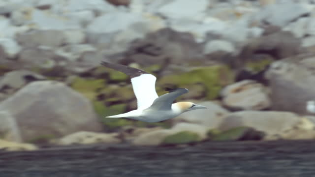ms slo mo ts shot of seabirds northern gannet morus bassanus flying / ailsa craig island near girvan, ayrshire, scotland - 海洋性の鳥点の映像素材/bロール