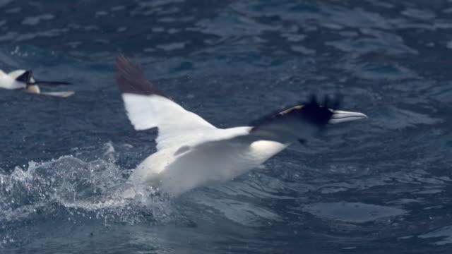 ms slo mo shot of seabirds northern gannet morus bassanus taking off from sea / ailsa craig island near girvan, ayrshire, scotland - northern gannet stock videos & royalty-free footage