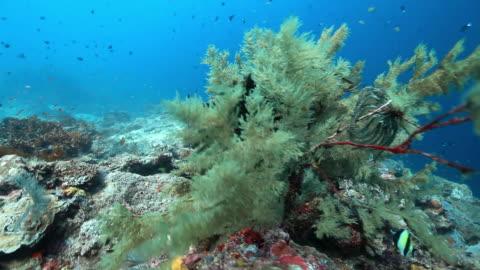 vídeos de stock e filmes b-roll de ms shot of seafan / sipadan, semporna, tawau, malaysia - coral macio
