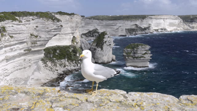 WS Shot of Seagull in front of Limestone cliffs / Bonifacio, Corsica, France