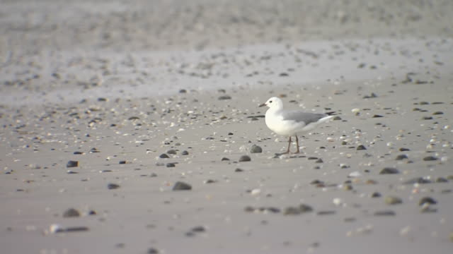 CU Shot of seagull on beach / South Africa