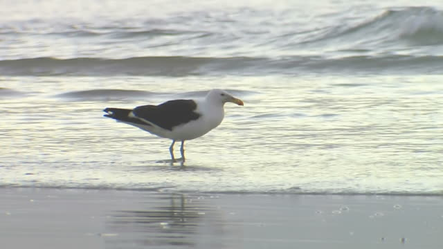 CU Shot of seagull searching in waves / South Africa