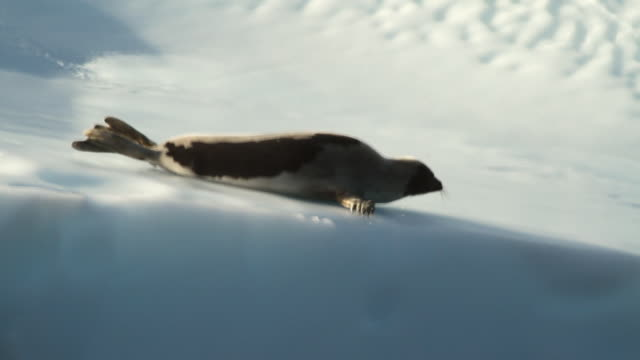 stockvideo's en b-roll-footage met ms ts shot of seal skimming in ice water and sun flares in between peaks of icebergs / torgat mtns, labrador, canada - wiese
