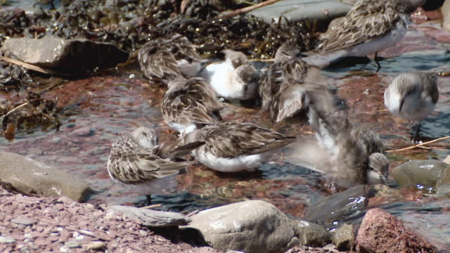 vídeos de stock, filmes e b-roll de ms shot of semi palmated sandpipers bathing in fresh water stream / dorchester, new brunswick, canada - pilrito