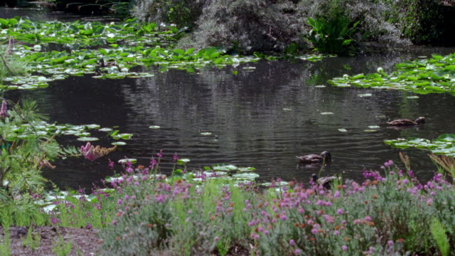ms shot of several brown ducks swimming in small pond - aquatic plant stock videos & royalty-free footage