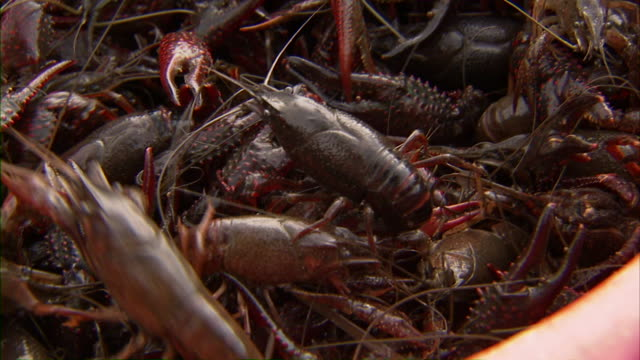 shot of several crawfish in a red basket. - flußkrebs tier stock-videos und b-roll-filmmaterial