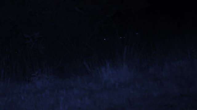 ws pan shot of several spotter hyena's, light reflected from eyes howling / phinda, south africa - animal eye stock videos & royalty-free footage