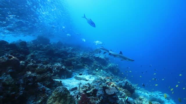 ms ts shot of shark and jack fish swimming over white reef / sipadan, semporna, tawau, malaysia - oceanic white tip shark stock videos & royalty-free footage