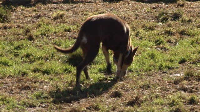 ms ts pan shot of sheep dog / jindabyne, new south wales, australia - sheepdog stock videos & royalty-free footage