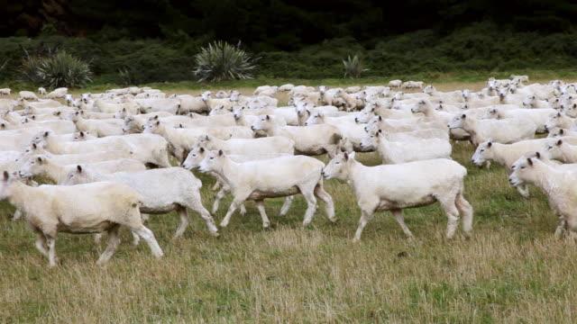MS PAN Shot of Sheep Herd / Catlins, New Zealand