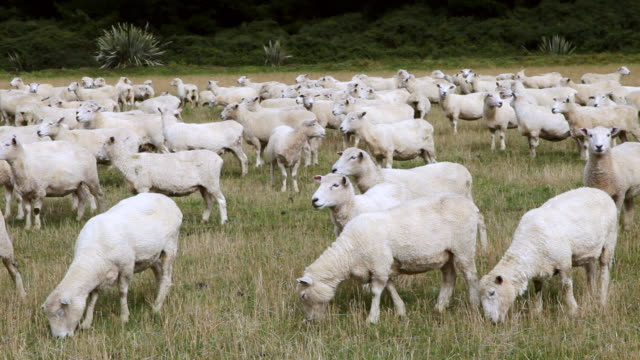 ms shot of sheep herd eating grass / catlins, new zealand - flock of sheep stock videos & royalty-free footage
