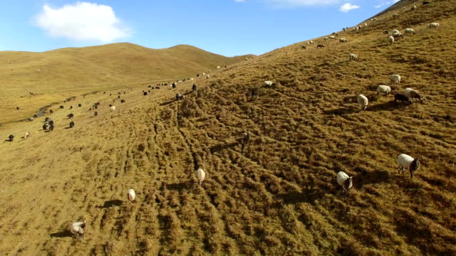 aerial shot of sheep on grassland grassland,gansu,china. - grass area stock videos and b-roll footage