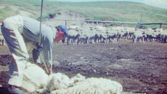 ms shot of sheep shearing by man - schere stock-videos und b-roll-filmmaterial