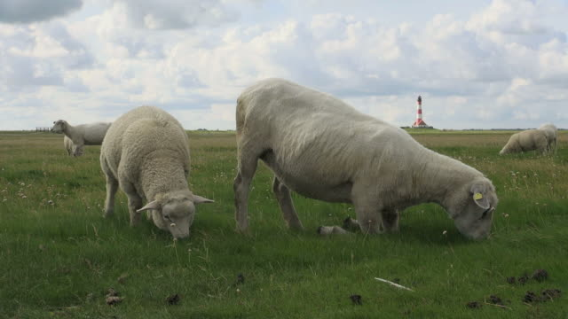 ms shot of sheep's eating on salt meadow, north sea north frisia / westerhever / westerhever, schleswig holstein, germany - nordfriesische inseln stock-videos und b-roll-filmmaterial