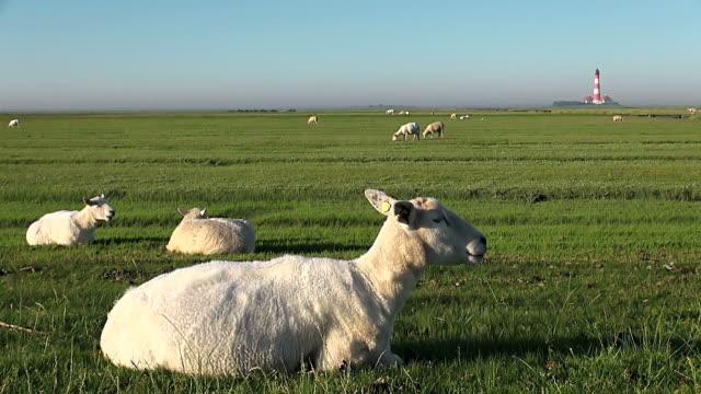 WS Shot of sheep's grassing on grass field near Westerhever lighthouse, North Frisian Wadden Sea / Westerhever, Schleswig Holstein, Germany