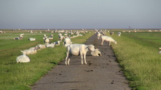 ws shot of sheep's on salt meadows, north sea north frisia / westerhever / westerhever, schleswig holstein, germany - flock of sheep stock videos and b-roll footage