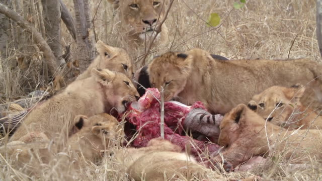 ws shot of shot of lion cubs feeding / kruger national park, mpumalanga, south africa - mpumalanga province stock videos and b-roll footage