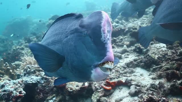 cu ts shot of single bumphead parrotfish / sipadan, semporna, tawau, malaysia - parrotfish stock videos & royalty-free footage