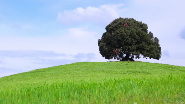 ws shot of single old tree on hill / siena, tuscany, italy - single tree stock videos & royalty-free footage