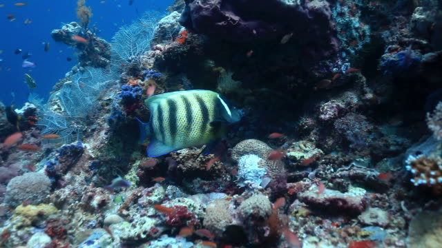 cu shot of six banded angelfish swimming in front of reef / sipadan, semporna, tawau, malaysia - angelfish stock videos & royalty-free footage