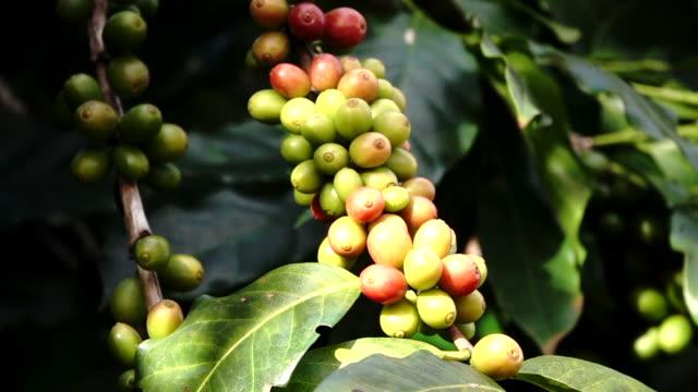 スローモーションコーヒーチェリー(豆)熟成ショット - ピスタチオナッツ点の映像素材/bロール