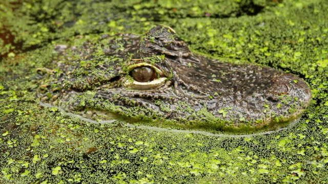 cu shot of small alligator out of surface in water / manteo, north carolina, united states - maul stock-videos und b-roll-filmmaterial