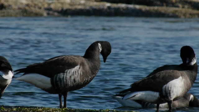 vidéos et rushes de shot of small group of brent gooses grooming at the riverside - petit groupe d'animaux
