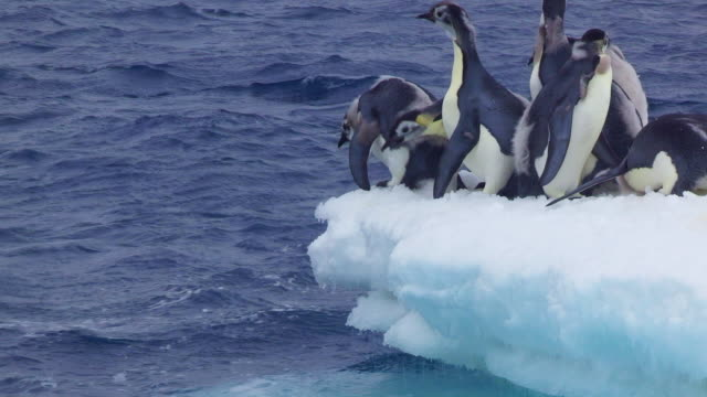 ms shot of small group of emperor penguin fledgling chicks diving in sea / dumont d'urville station, adelie land, antarctica - 水に飛び込む点の映像素材/bロール