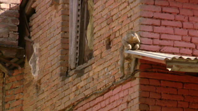 vidéos et rushes de ms ts shot of small monkey chimp climbing buildings / kathmandu, nepal - mur brique