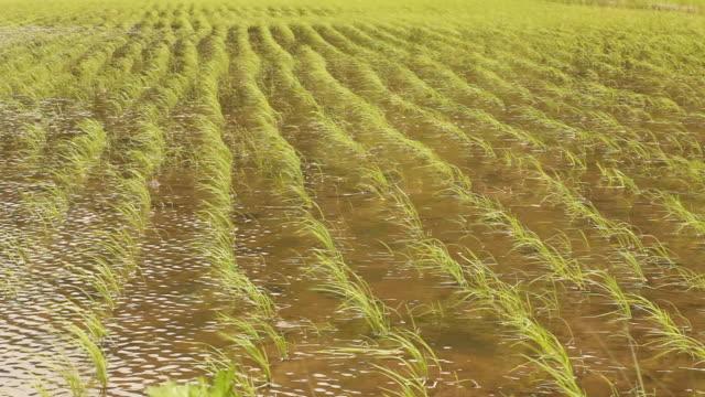 ms shot of small rice stalks inside of rice field with water / kinosaki, kanto, japan - satoyama scenery stock videos & royalty-free footage