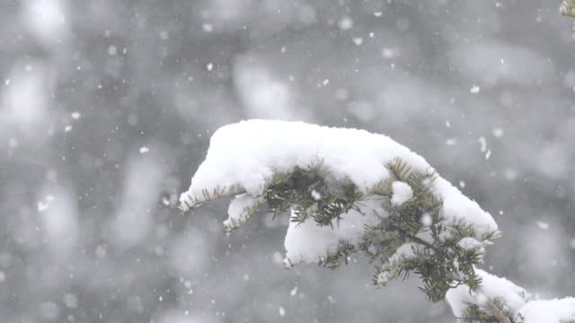 CU Shot of Snow falling onto snow covered branch of juniper / Valparaiso, Indiana, United States