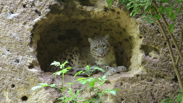 MS Shot of Snow leopard or ounce, uncia uncia, adult resting in rock cavity / Asia, Nepal